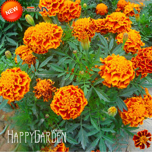 a7c4af88299 Sale!Red Yellow Edge Maidenhair Flower plant Potted Garden Marigold  Chrysanthemum Bonsai flores 50 plantas