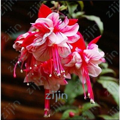 100 шт. двойные лепестки фуксия Мини карликовые деревья цветок в горшках, фонарь цветок, Висячие растения повязка на голову Diy садовое растение для дома