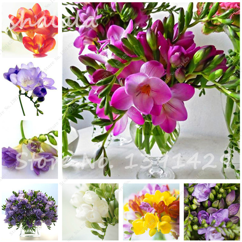 150PCS Color Mixing Freesia Hybrida Seeds Indoor Potted Flowers ...