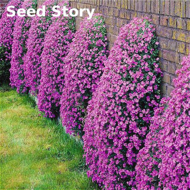 Climbing flower aubrieta seeds 100pcs purple flowers seed perennial climbing flower aubrieta seeds 100pcs purple flowers seed perennial ground cover blooming diy plant for home mightylinksfo