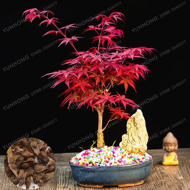 Potted Plant Bonsai 20 Pcs 100 Real Acer Palmatum Atropurpureum