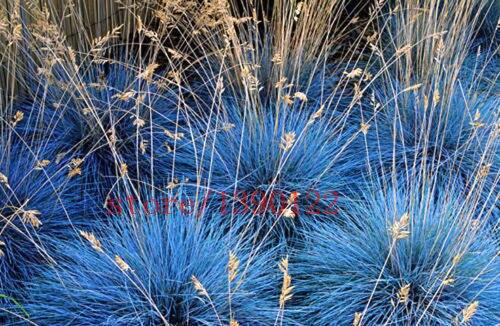 100 pcs AZUL FESTUCA Glauca Fesnea Ornamental ornamental Gramínea perene hardy linda grama 2015 novas sementes para jardim de casa