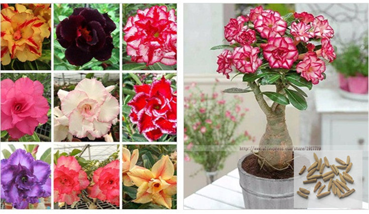 100% true Desert Rose Seeds Ornamental Plants Balcony Bonsai Potted Flowers Seeds Adenium Obesum Seed 5 Particles lot