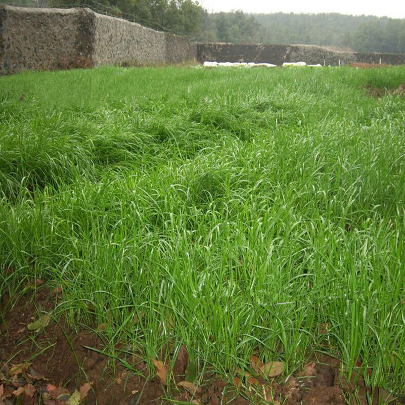 how to grow rye grass