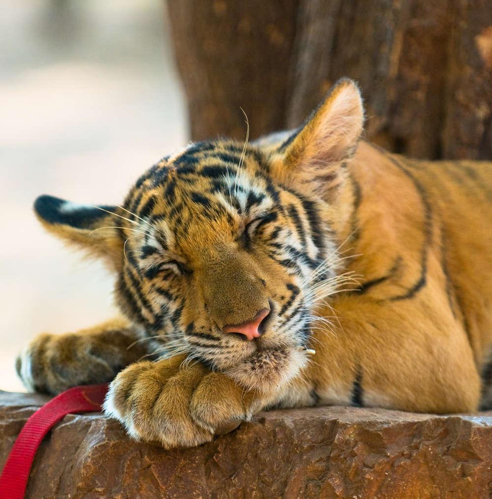Tigers Canvas Prints Animals Home Decor Modern Animal Wall