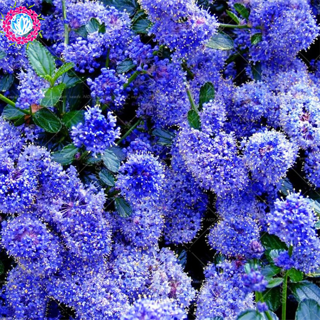 100pcs Bonsai Blue Japanese Lilac Extremely Fragrant Clove Flower