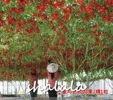 500 Pcs Climbing Tomatoes Bonsai Delicious Nutritious Organic Fruits And Vegetables For Home Garden Potted Plants