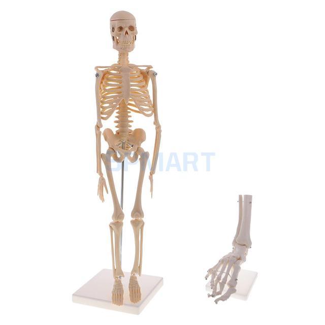 45cm Human Body Skeleton Model +1:1 Lifesize Foot Ankle Joint Model ...