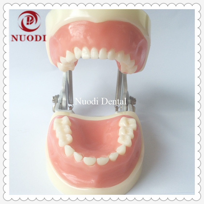 Children Teeth Model 24pcs/Dental TrainingTeeth Model/Dental lab KidsTeeth Model/Standard Child Teeth Model soft Gum free shipping good quality dental soft gum teeth model with tougnetypodont w 32 removable teeth nissin 200 compatible