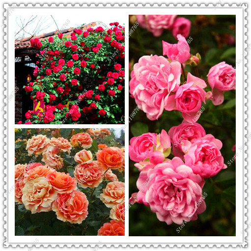 100pcs/bag Beautiful Romantic Polyantha Rose Seeds Climbing Rose Seeds Rosa Multiflora flower seeds,bonsai plant home garden
