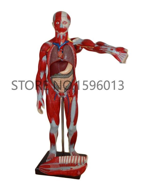 170 cm Volle Körper Muskeln der Männlichen mit Internen Organe 27 ...