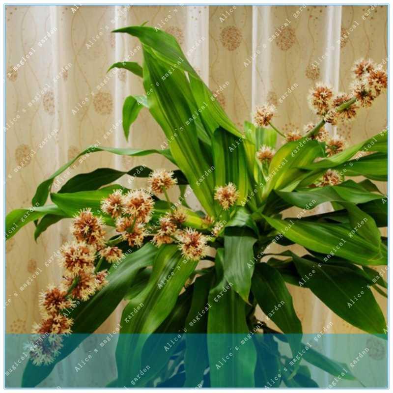 ZLKING 10 шт./пакет Драконий дерево крови драцена Сандера деревья четыре сезона неопадающие, многолетние растения дерево цветок
