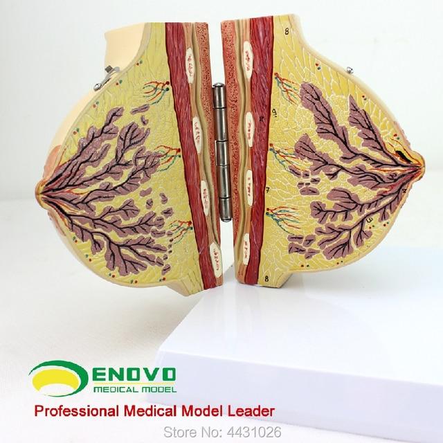 Enovo Medical Female Static Stage Breast Model Breast Anatomy Breast