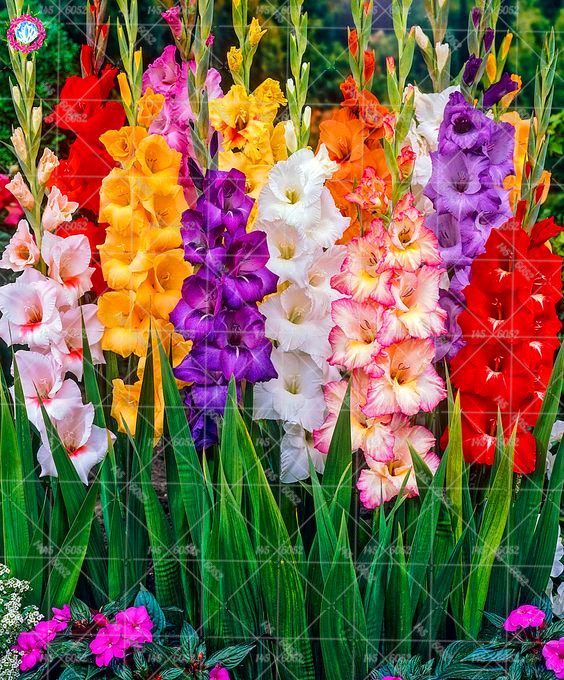 2pcs Gladiolus Bulbs Gladiolus Flower Bonsai Bulbs Vaniot Houtt Bulb Perennial Beautiful Flowers For Home Garden Potted Plants