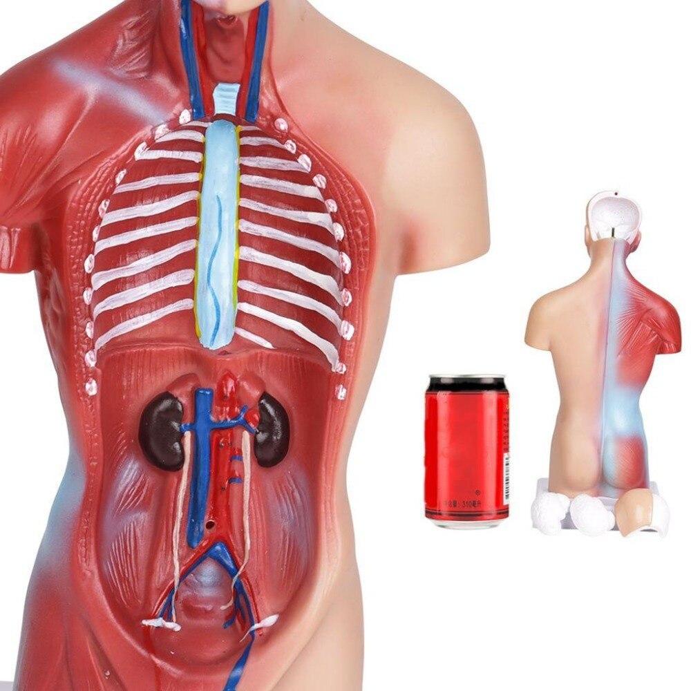 Human Torso  Body model  Anatomical Medical Internal Organ Anatomy for Teaching Resources