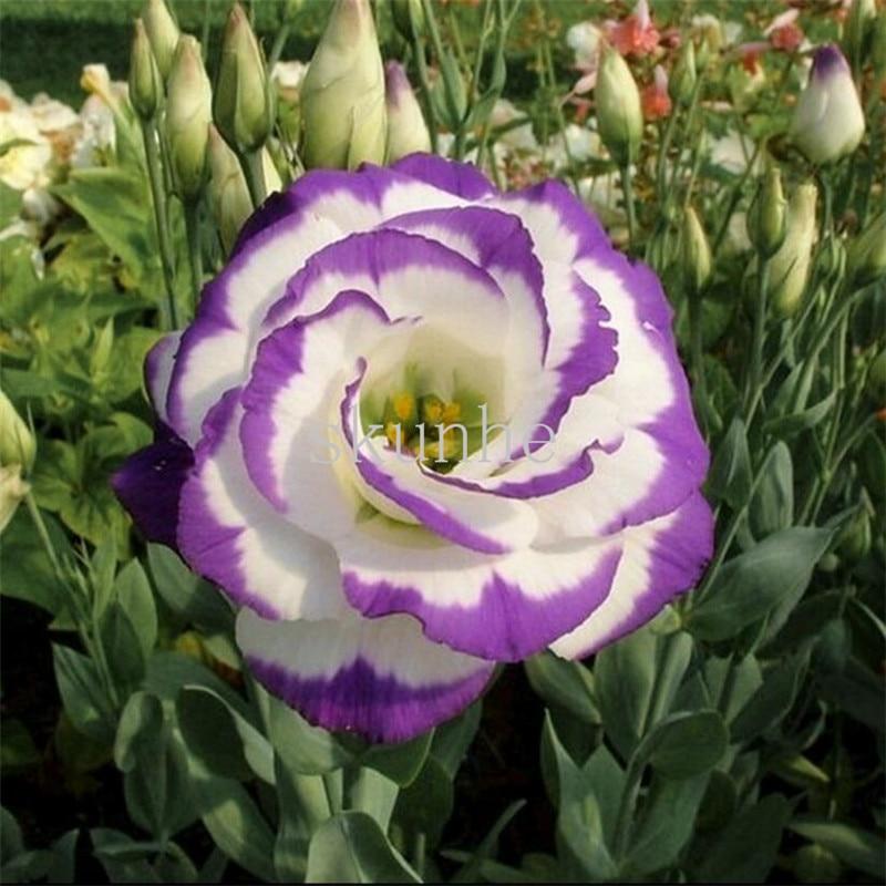 Гном Eustoma бонсаи весенний сев осень бонсаи Комнатные цветы балкон горшках 100 шт. (ju ГЭН)