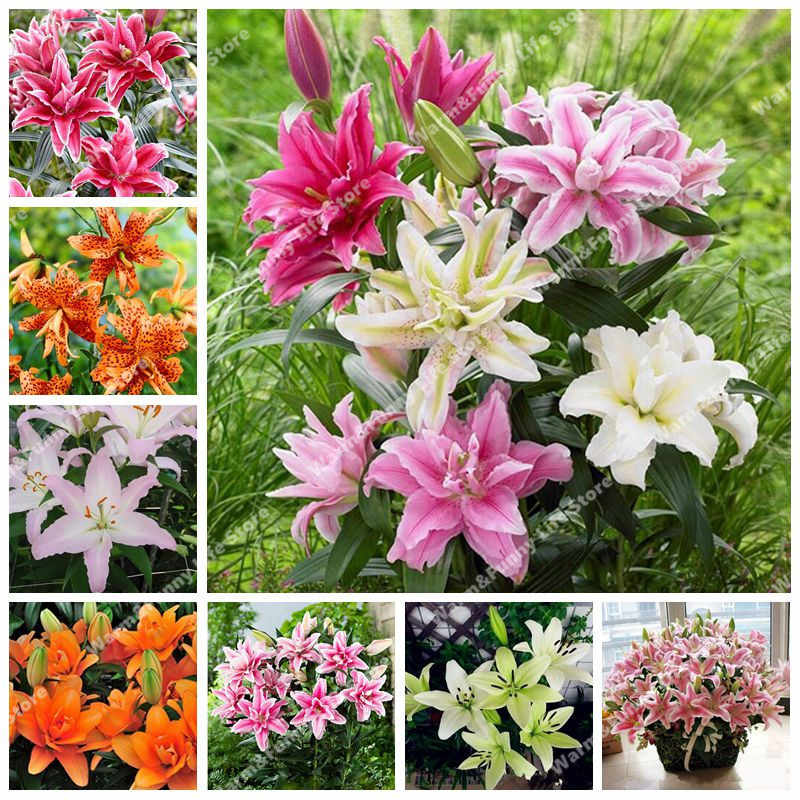 100 Pcs Perfume Lily bonsai, (Not Lily Bulbs) Lilium Bonsai Flower flores High Quality Plant For Home Garden Pleasant Fragrance