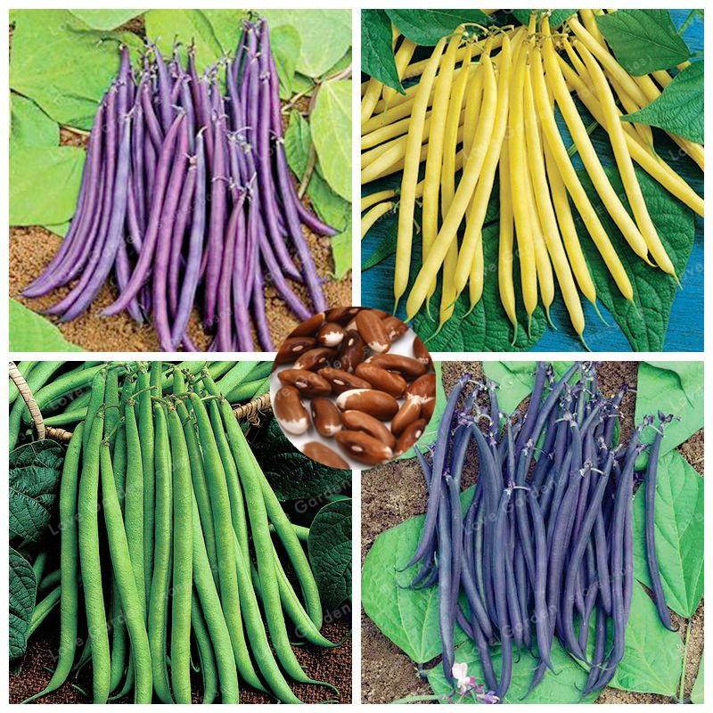 20 Pcs/Bag Bean Seeds Organic Delicious Phaseolus Vulgaris Plant Green Seeds High-Nutrition Non-GMO Vegetable Seeds ...