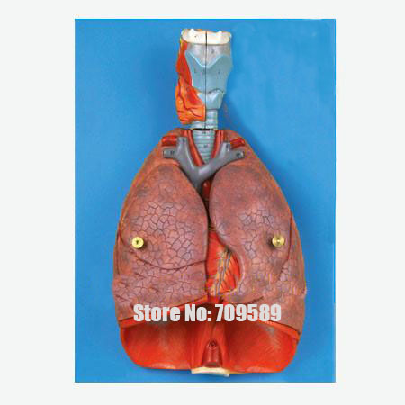High Quality Medical Anatomical Model, Larynx heart lung human larynx model advanced anatomical larynx model