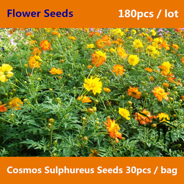The wild beauty of cosmos sulphureus 180pcs half hardy annual the wild beauty of cosmos sulphureus 180pcs half mightylinksfo