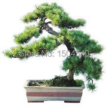 Pine seeds, radiation, air purification, landscape plants, 5 pcs