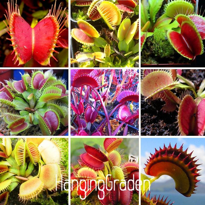 1000PCS Potted Insectivorous Plant Bonsai Dionaea Muscipula Giant Clip Venus Flytrap Garden,#ISGAJA
