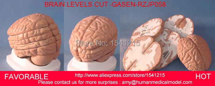 HUMAN HEAD ANATOMICAL MODEL BRAIN MODEL MEDICAL SCIENCE TEACHING SUPPLIES BRAIN SKULL BRAIN ANATOMICAL MODEL -GASEN-RZJP058 2 part anatomical healthy human uterus and ovary model female medical anatomy teaching supplies