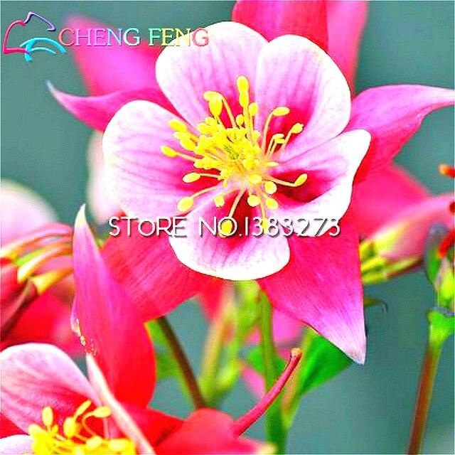 20 Graines Pack Couleur Ancolie Graines Plante Vivace Fleur Graines