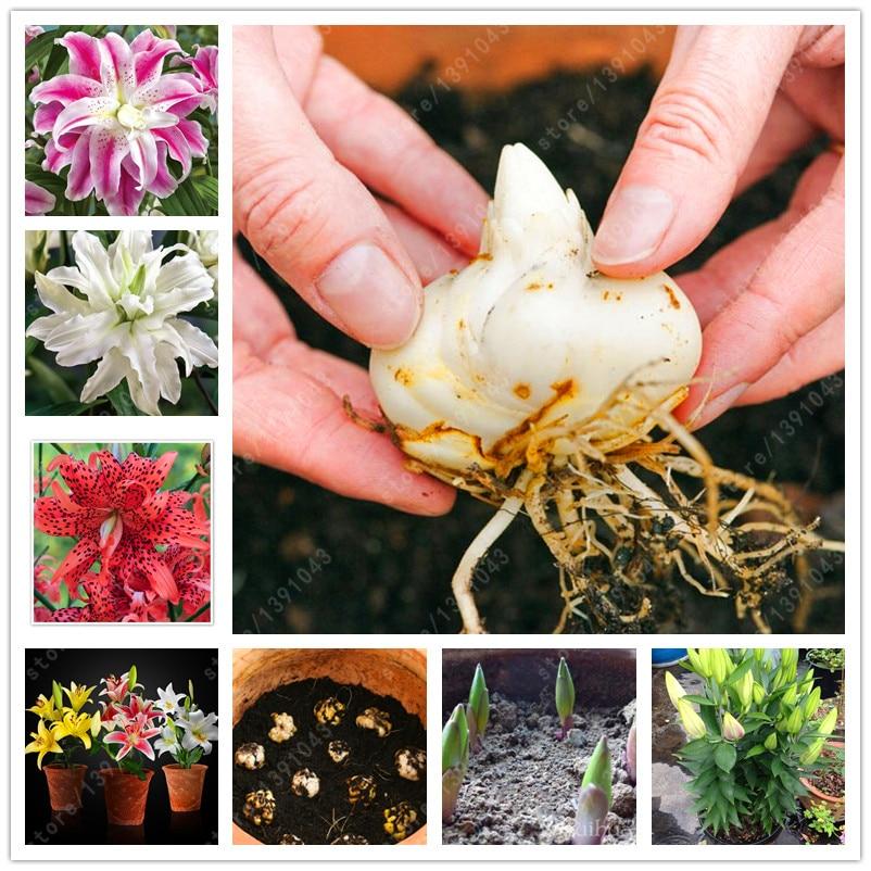 100% True lily bulbs flower bulbs (not lily seeds) Faint scent, bonsai pot lilium plants double petals home garden plant 2 bulbs