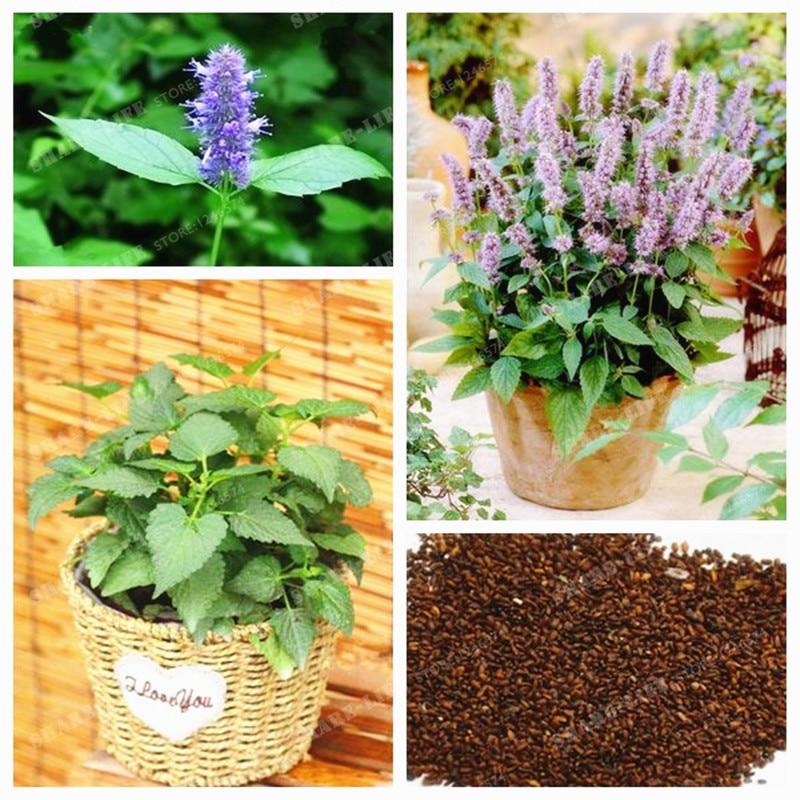 US $0 38 55% OFF|Agastache Rugosa Bonsai Rare Patchouli Herb Blue Licorice  Bonsai Indian Mint Purple Giant Hyssop Bonsai For Home Garden100 Pcs-in