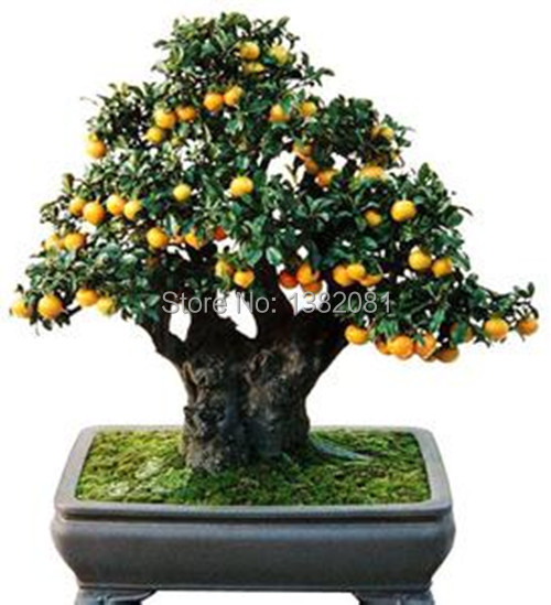 planter un kumquat
