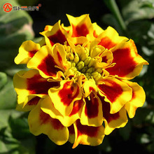 New Arrival 24 Colors Zinnia Seeds Perennial Flowering Plants Potted Charming Chinese Flowers Seeds 100 Particles /lot
