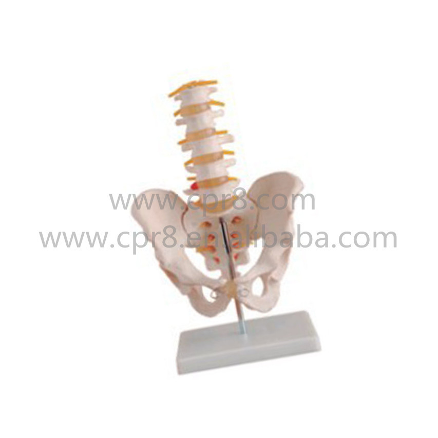 BIX-A1022 Life-size Pelvis Model With 5 Lumbar Vertebra Model MQ168 life size pelvis with 5pcs lumbar vertebrae model pelvis model lumbar vertebrae model