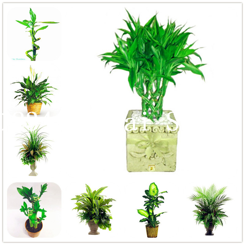 50 Pcs Bonsai Bamboo Plant Outdoor Potted Plants Bambusa Lako Tree For Garden Radiation Absorption Easy Planting In From Home On
