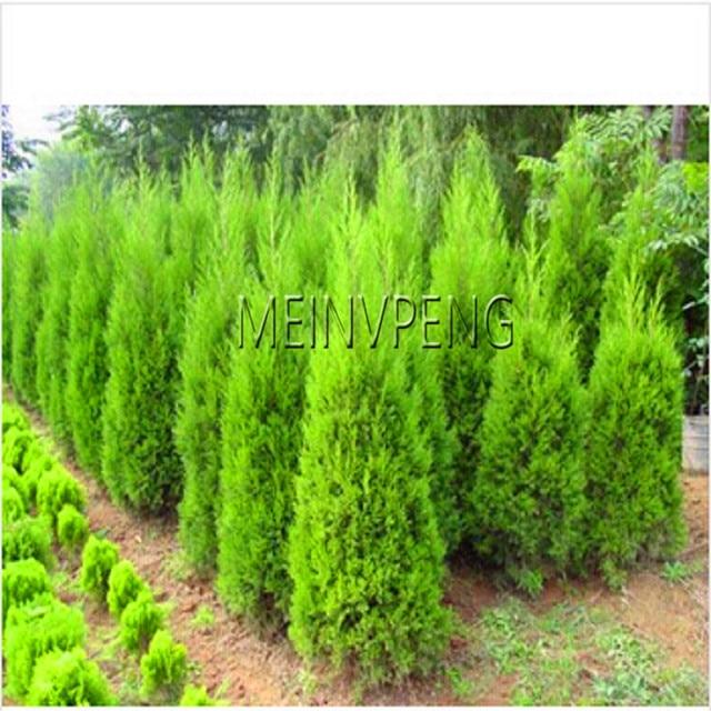 Cypress Trees Plant Conifer Bonsai Diy Home Garden 20pcs Bag Wq3ecr