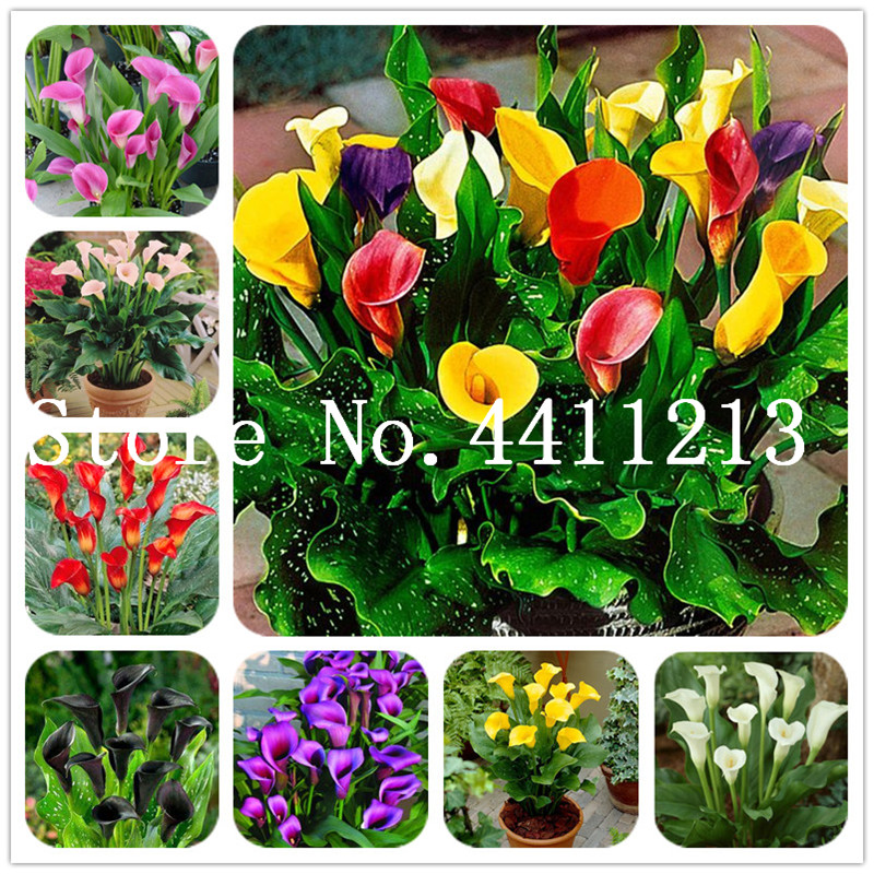 Multi-Color Calla Flower True Calla Lily Flower Symbolize Love Elegant Noble Flower Bonsai Indoor Plant Bonsai Balcony Flower-50