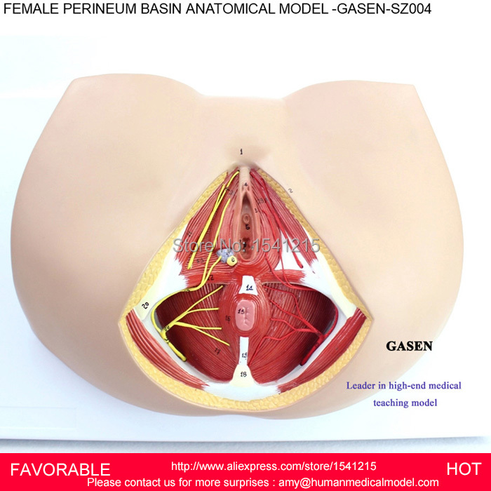 female perineum images