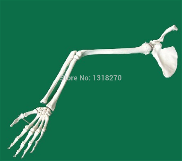 Medical Use Human Anatomy Skeleton Model Of Upper Limbarm Bones