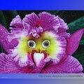 O mundo de mais raro de rosto orquídea sementes de flores perenes, Professional pacote, 100 sementes / pack, Bonsai sementes jardim nova # NF940