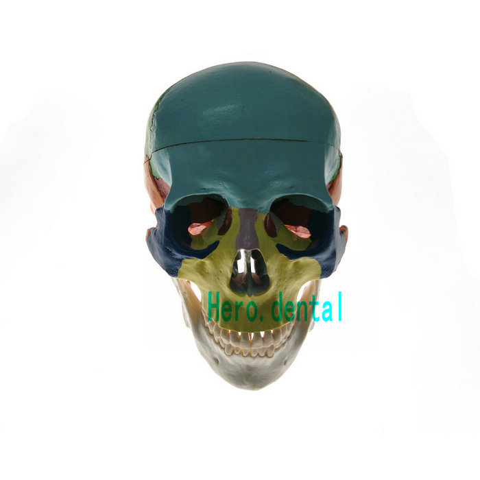 Dental Colored Anatomical Skull Model 3 parts Ceramic White Teaching Model dh202 2 dentist education oral dental ortho metal and ceramic model china medical anatomical model