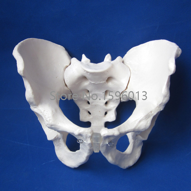 Hot Adult Male Pelvis Model Human Pelvis Model In Medical Science