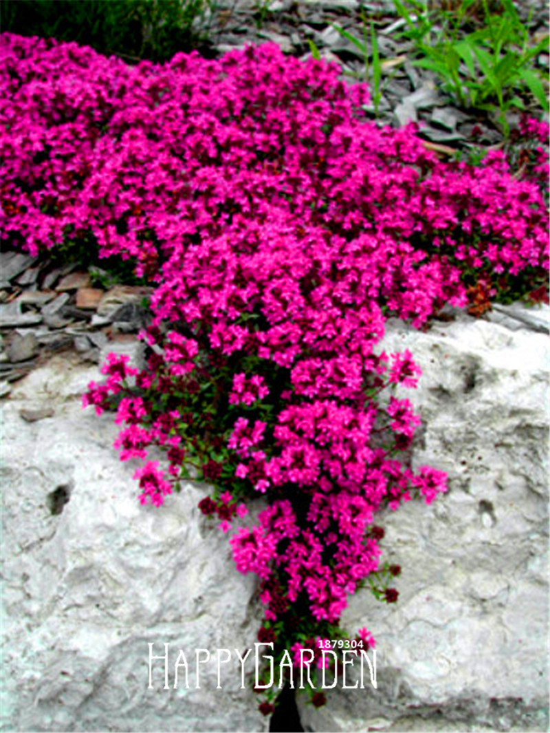 Popular Flowering Ground Cover-Buy Cheap Flowering Ground ...