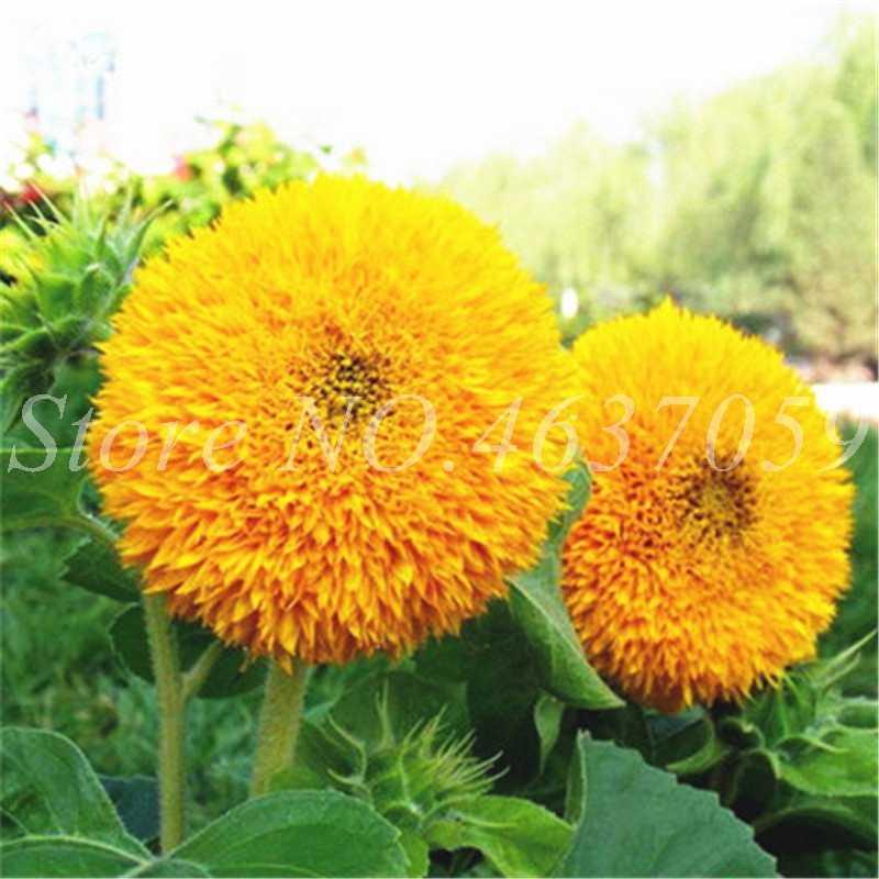 40 adet/torba Mini Ayçiçeği Çiçek Nadir Renkli Kapalı Çok Yıllık Bonsai Saksı Flore Bitkiler Ev Kış Bahçesi Dekor Kolay Büyümek