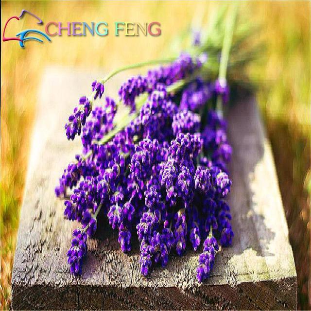 Freies Verschiffen 50 Französisch Provence Lavendel Samen Sehr Duftenden Können wachsen Gut In Topf Oder Bonsai Garten Dekoration Beste Uhr pflanzen