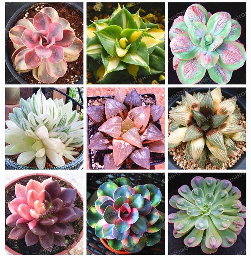 Real Rare Succulent Bonsai Perennial Angiosperm Plants Flower Bonsai Pseudotruncatella Living Stone Lithops Bonsai 100 Pcs