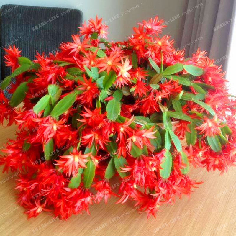 Zygocactus Truncatus Schlumbergera Bonsai Cactus Flowers Indoor Potted Plants Purifying Air Flower  Epiphyllum Green 100PCS fake rose flowers