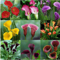 ZLKING 2 pcs Calla Lily Rare Flower For Home Garden Planting (Calla Lily Bulbs) Bonsai Pot Plant Perennial Flowers