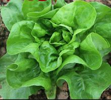 free ship 200 Italian Lettuce Seeds good taste , easy to grow, great salad choice ,DIY Home vegetable