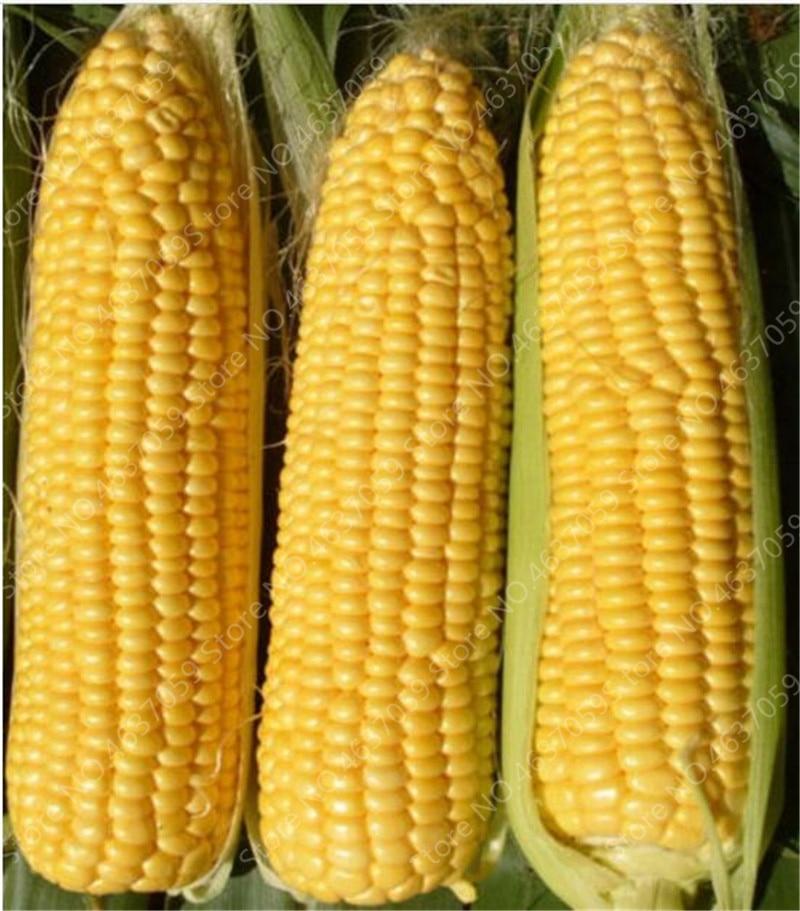 50 pcs Bonsai Yellow Corn Outdoor Organic Sweet Vegetables ...
