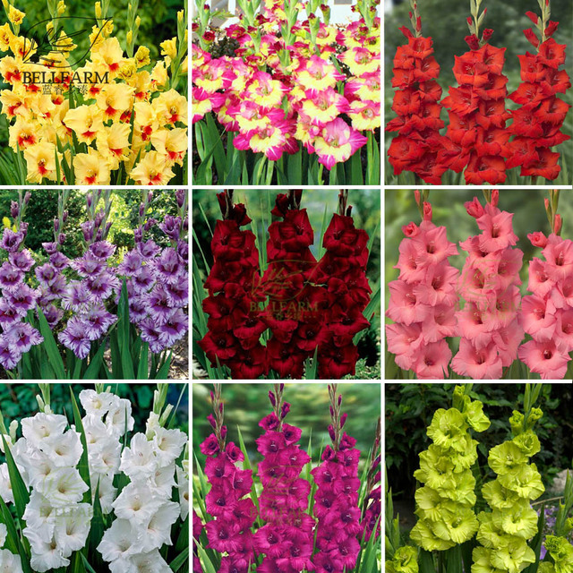 Bellfarm bonsai 25 types gladiolus perennial flowers heirloom sword bellfarm bonsai 25 types gladiolus perennial flowers heirloom sword lily colorful flowers high germination 50pcs mightylinksfo